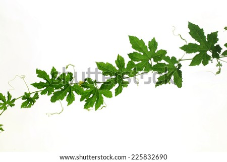 cucumber leaves isolated on white   - stock photo