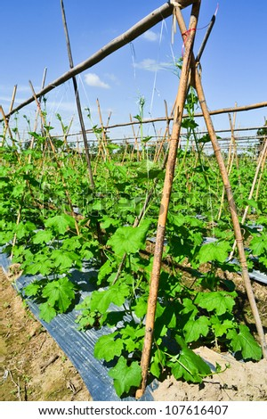 cucumber plant in garden of thailand southeast asia