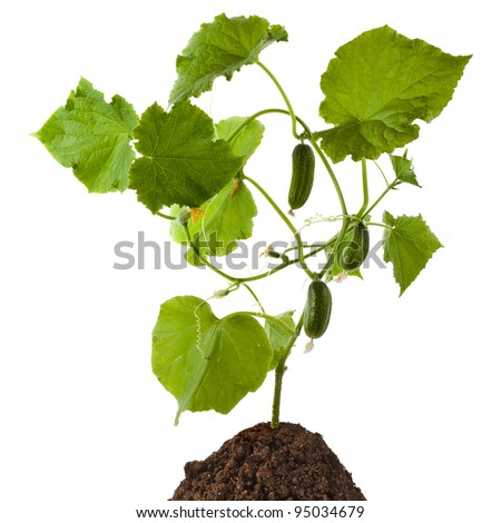 cucumber plant isolated on white background
