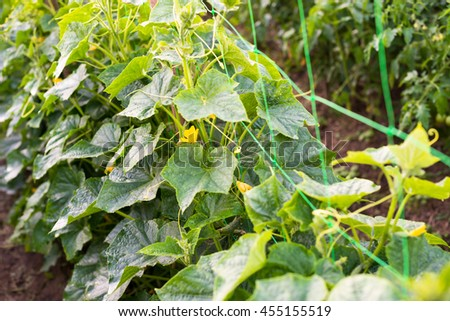 Cucumber yellow flowers creeping vines green stock photo royalty cucumber yellow flowers creeping vines and green leaves on the supporting netting mightylinksfo