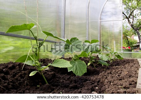 Cucumber young plants.