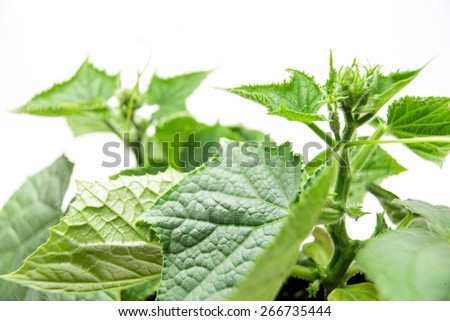 cucumber, young plants in the beds and in a greenhouse on a white background isolated, juicy and healthy plants grown organically - stock photo