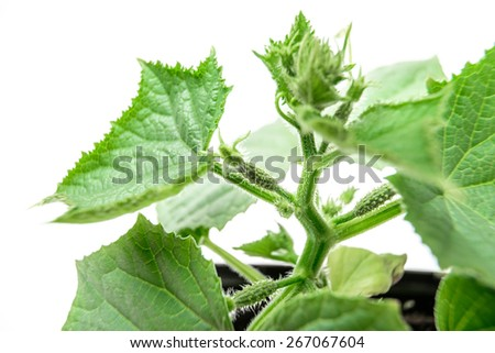 cucumber, young plants in the beds and in a greenhouse on a white background isolated, ovary fruits on the plant - stock photo