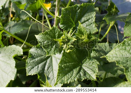 Cucumbers growing in a garden. Green leaves and flowers.