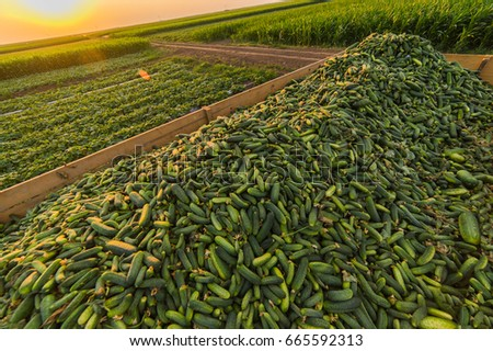 Cucumbers in a trailer after harvest - small green freshly harvested gherkins