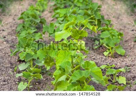 Cucumbers in the garden - stock photo
