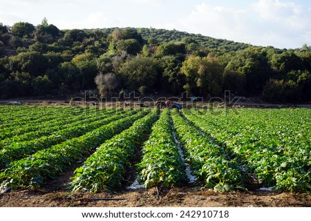 Cucumbers on the farmland in Israel                                - stock photo