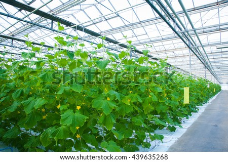 Cucumbers ripening on hanging stalk in greenhouse