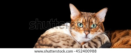 Cuddling bengal cats embrace and look towards the viewer with a black isolation. Sized for social media cover image template - stock photo