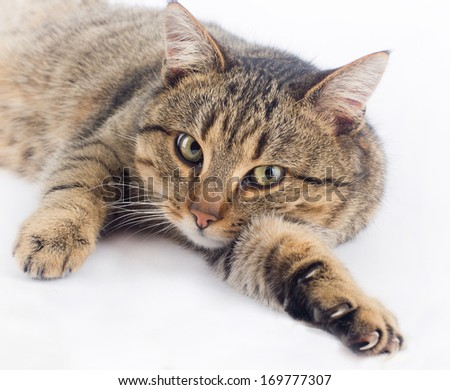 Cuddly cat lying on white background and looking at camera
