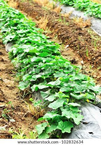 cuke field - stock photo