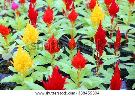 Cultivar annual woolflower (Celosia sp.) flower seedlings in the modern greenhouse in spring - stock photo