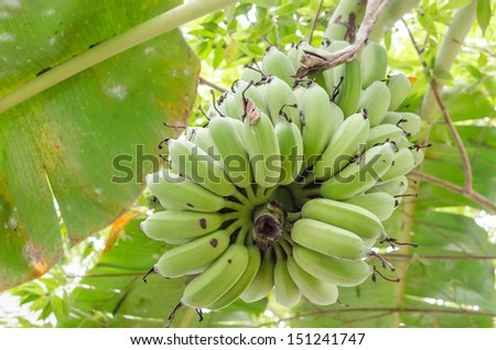 Cultivated banana - Banana tree with of green bananas in garden