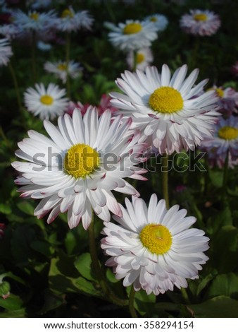 Cultivated bellis perennis flowers in flowerbed - stock photo