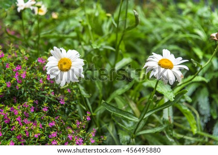 Cultivated camomile flowers in garden. - stock photo