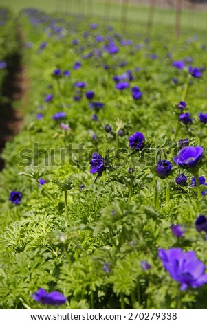 Cultivated field of Blue Anemones - stock photo