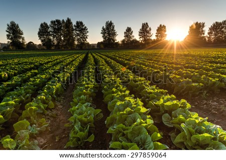 Cultivated field of lettuce growing in rows along the contour line in sunset at Kent, Washington State, USA. Agricultural composition. Panoramic style. - stock photo