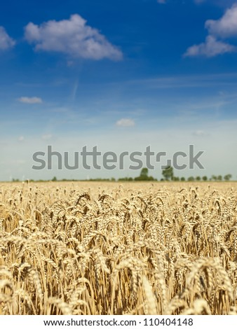 Cultivated field of ripe golden wheat ready to harvest - stock photo