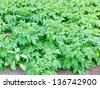 Cultivated potatoe patch in organic hobby vegetable garden - stock photo