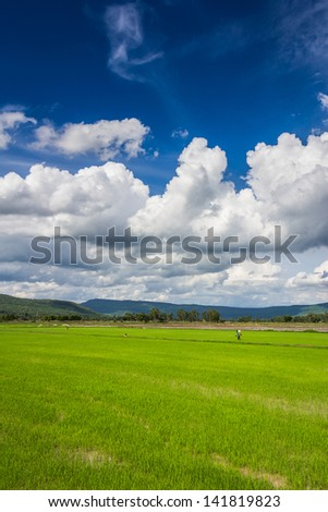 Cultivated season, rice farm under beautiful sky in Phitsanulok province of Thailand