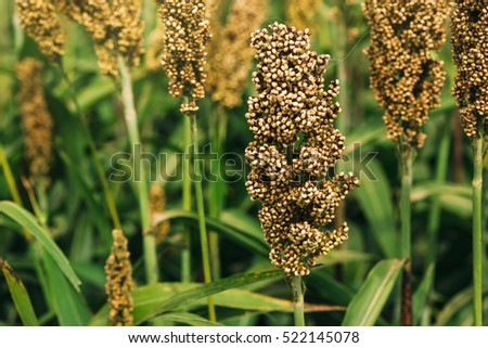 Cultivated sorghum field, an important cereal crop worldwide.