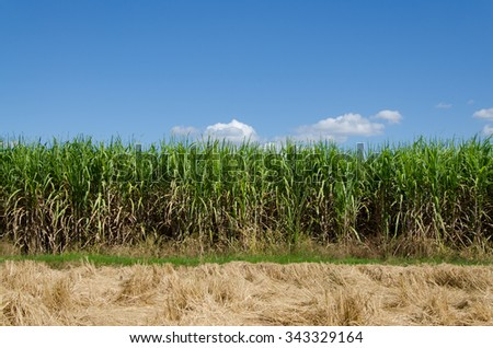 cultivated sugar cane for agriculture sustainable and harvest. - stock photo