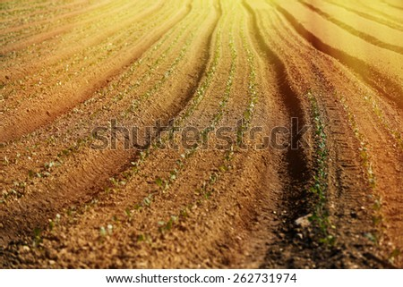 Cultivated vegetable field on an organic farm, glowing in morning sunshine - stock photo