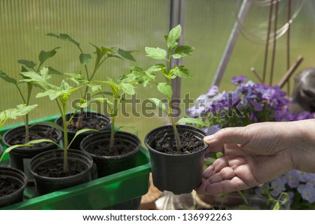 cultivating tomato plants in a private garden greenhouse. Hand holding tomato plant.