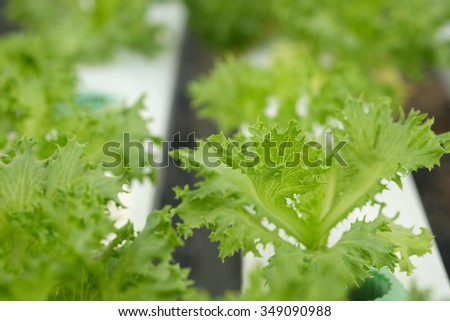 Cultivation hydroponic green vegetable in farm plant market ,Red oak, green oak, frillice iceberg