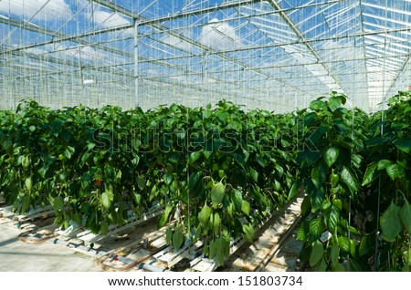 cultivation of bell peppers in a commercial greenhouse in Klazienaveen, Netherlands - stock photo
