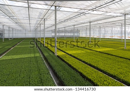 Cultivation of cupressus in a Dutch greenhouse - stock photo