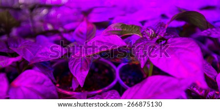 Cultivation of fresh basil and pepper with red and blue leds. The basil is grown without daylight, the leds provide light that plants need to grow. - stock photo