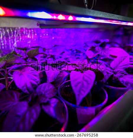 Cultivation of fresh herbs and pepper with red and blue leds. Using special LED equipment in rooms without light and in greenhouses. LEDs with a wavelength of 630nm, 660nm, 445nm,  - stock photo