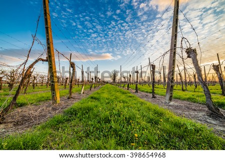 cultivation of fruit trees in the countryside of Emilia Romagna in Italy, leafless vineyards organized into files