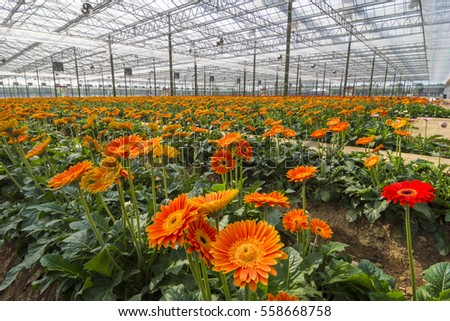Cultivation of Gerbera