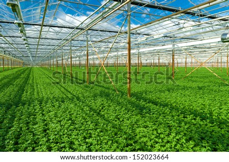 cultivation of golden daisy flowers in a greenhouse in Klazienaveen, netherlands - stock photo