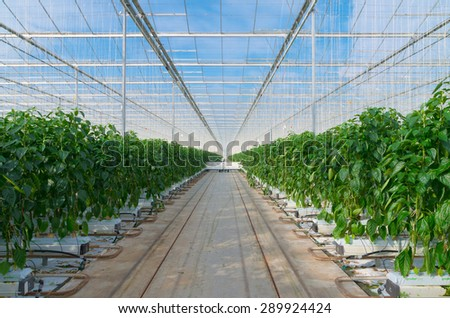 cultivation of green bell peppers in a commercial greenhouse in the netherlands - stock photo