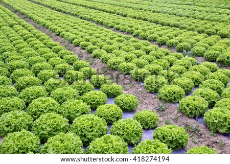 cultivation of green salad in a farm
