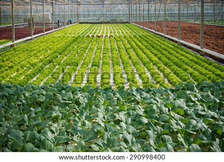 cultivation of lettuce and cabbage in a greenhouse in the netherlands - stock photo