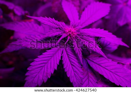 cultivation of medical marijuana, the LED grow lighting, led cannabis plant background   - stock photo