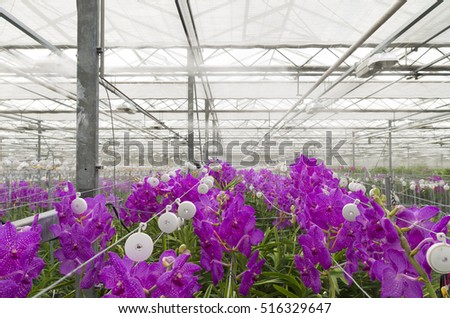 cultivation of orchids in a commercial greenhouse in the netherlands