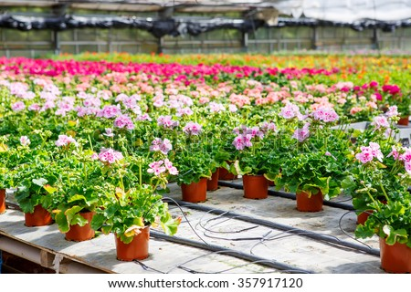 Cultivation of pink, purple, red geraniums flowers in a Greenhouse