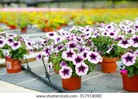 Cultivation of pink, purple, yellow different flowers and geraniums in a Greenhouse