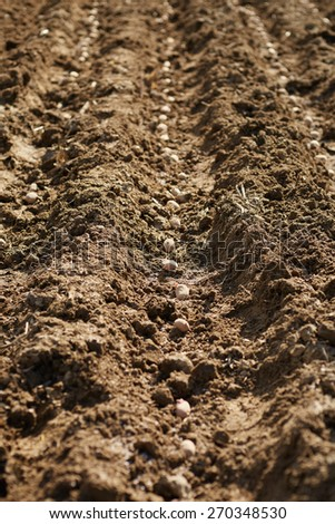 Cultivation of potatoes on rows into plowed soil - stock photo