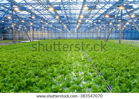 Cultivation of salad inside big industrial greenhouse perspective background - stock photo