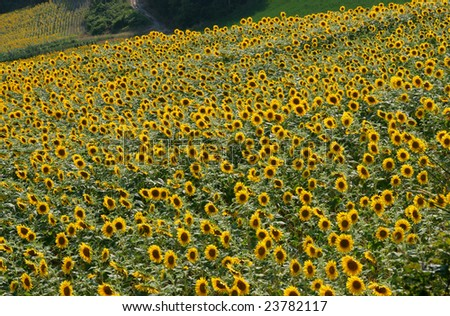 cultivation of sunflowers