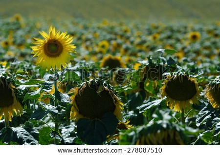 cultivation of sunflowers - stock photo