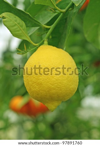 cultivation of yellow lemon in Sicily in Italy - stock photo