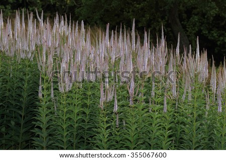 Culver's Root (Veronicastrum virginicum) a flowering stand, native of eastern North America. - stock photo