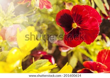 Cupid's-delight flower closeup in flower garden - stock photo